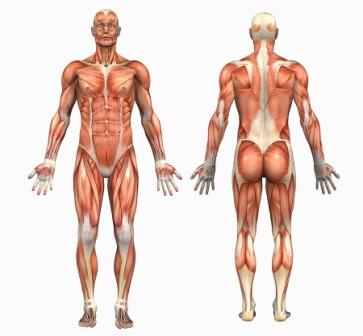Bild på alla kroppens muskler
